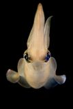 Squid hovering while swimming. A squid in an aquarium well lit and set against a black background as it hovers while swimming in its aquarium royalty free stock images