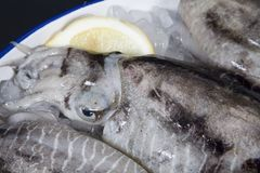Squid on ice with lemon Stock Images