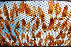 Squid lay on net, Dried Squid Royalty Free Stock Image