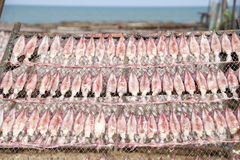 Squid lay on net, Dried Squid, traditional squids drying in the sun in a idyllic fishermen village,Thailand. Royalty Free Stock Image