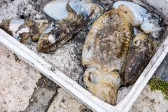 Squid in a Styrofoam box. Squid and other sea creatures caught during fishing trip, stored in a Styrofoam box on the ground in front of the fisherman boat royalty free stock photo