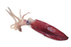 Squid Royalty Free Stock Photo