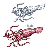 Squid seafood sea animal isolated sketch. Squid seafood isolated sketch. Sea animal, european squid with pink tentacles and mantle. Seafood, fish market label royalty free illustration