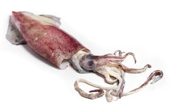 Squid three-quarters view Royalty Free Stock Image