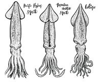 Squid vector hand drawn illustrations. Seafood drawings. Most common species of squids: loligo, Argentine shortfin squid and Pacific flying or Japanese Royalty Free Stock Image