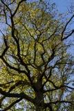 Squiggly Stary drzewo Obraz Stock