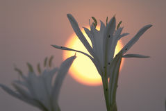 squill θάλασσας λουλουδιών Στοκ φωτογραφίες με δικαίωμα ελεύθερης χρήσης
