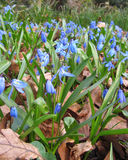 Squill Blooming in Spring. Scilla siberica (Wood Squill), blooming in spring in a natural woodland setting Stock Photo