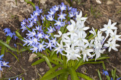 Squill Flowers Royalty Free Stock Images