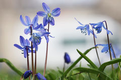 Squill flowers Stock Photos