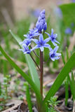 Squill Royalty Free Stock Photography