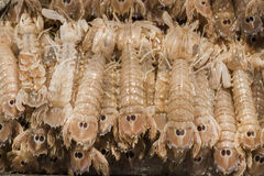 Squilla Mantis shrimp Stock Image