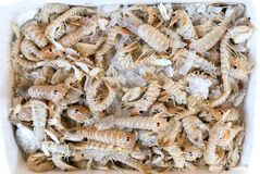 Squilla mantis shrimps on the counter at the greek fish shop. stock image