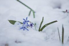Squillen blommar Scilla bifolia L som täckas med oväntad snö på en förkylning och en molnig vårmorgon Arkivfoto