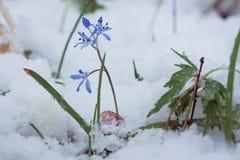 SquillScilla bifolia L blommor som täckas med oväntad snö på en förkylning och en molnig vårmorgon Fotografering för Bildbyråer