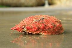 Squinado espinoso de Maja del cangrejo de araña Imagenes de archivo