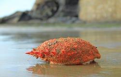 Squinado espinoso de Maja del cangrejo de araña Foto de archivo libre de regalías