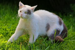 The squint-eyed cat walking outdoor Royalty Free Stock Image