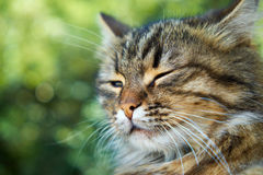 Squinting cat. Contented muzzle of squinting cat, closeup Stock Images