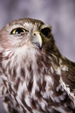 Squinting Owl. An angry looking squinting owl Stock Images