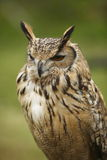 Squinting Owl. An European eagle Owl squinting Stock Image