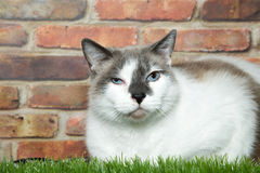 Squinting tabby laying in grass next to brick wall. White and tabby cat laying in grass in front of a brick wall. Eye squinting with swelling and exudate Stock Photography