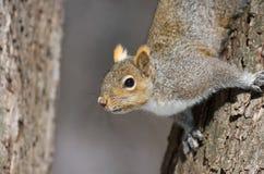 Squirel в дереве Стоковое Изображение RF