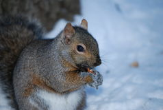 Squirel Royalty Free Stock Image