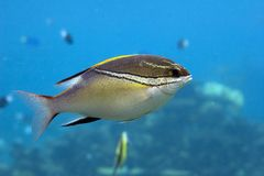 Squirel. Bridled Spinecheek (Scolopsis bilineatus) swimming over reef, blue background Stock Images