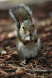 Squirel with acorn Royalty Free Stock Image