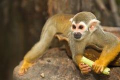 Squirel-Affe; ein gemeines Totenkopfäffchen Stockfotografie