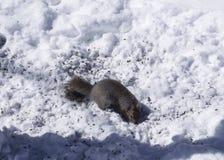 Squirel alimentant sur des graines d'oiseau en hiver Photographie stock
