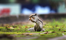 Squirel eating bread. Squirrel eating bread caught with both hands standing position natural pose Stock Images