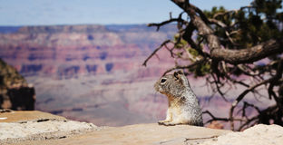 Squirel at Grand Canyon. Squirel and the Grand Canyon in background Royalty Free Stock Photography