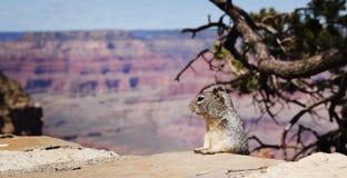 Squirel at Grand Canyon Royalty Free Stock Photography
