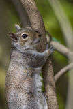 Squirel. A grey Squirrel climbing a tree stock images