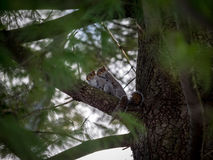 Squirel Love In A Tree. Squirrels making love in a tree on a cold winter day Royalty Free Stock Photography