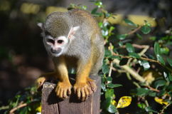 Squirel Monkey. A squirrel monkey on a fence post in a zoo enclosure Stock Images