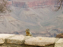 Squirel Over Canyon Stock Image