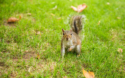 A squirel. Photography of a squirell looking for food in the Postman parc, London, UK Stock Photo