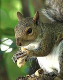Squirel que come el cacahuete Fotos de archivo