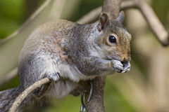 Squirel. Sat on a tree branch eating nut or seed royalty free stock images