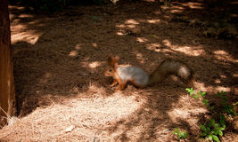 Squirel. Small Squirel searching for food on the ground Royalty Free Stock Images