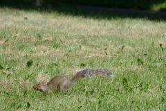 Squirel. Squirrel running at 28 avenu Stock Photo