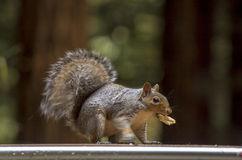 Squirel Royalty Free Stock Images