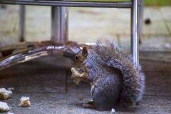 Squirel. Squirrel sat in a woodland in Devon UK Stock Photo