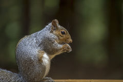 Squirel Stock Images