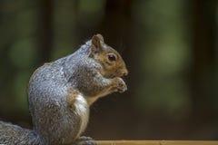 Squirel. Squirrel sat in a woodland in Devon UK Stock Images