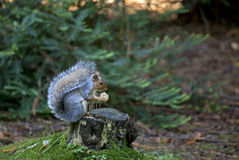 Squirel. Squirrel sat in a woodland in Devon UK Royalty Free Stock Photography