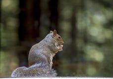 Squirel. Squirrel sat in a woodland in Devon UK Royalty Free Stock Photos